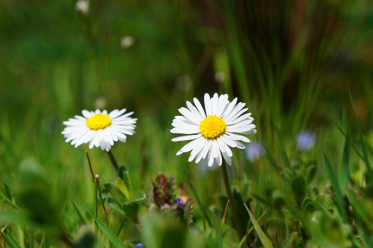 daisy-424893_1280